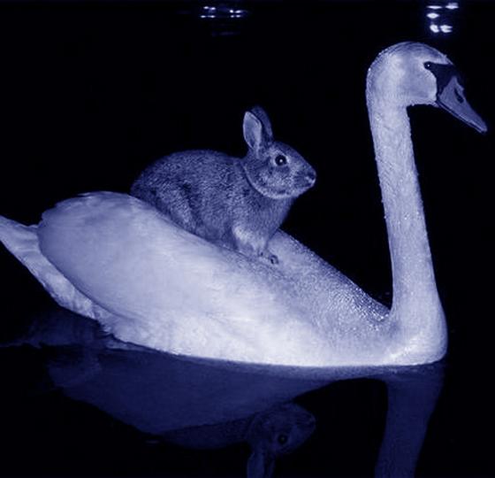 hare on swan