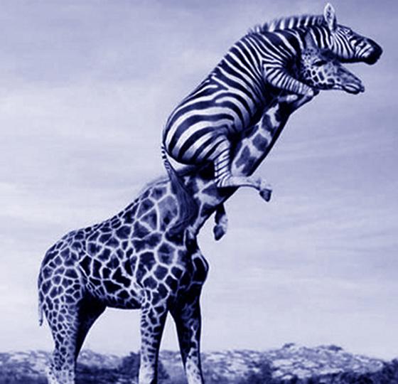 zebra on giraffe
